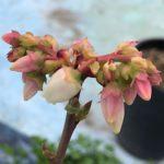 【お花部会】バラ順調に成長中!ブルーベリー開花!