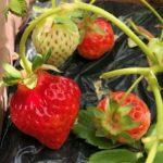 【とよのか】イチゴ収穫!