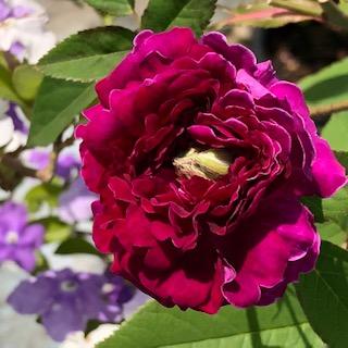 【お花部会】5月までの紫玉(しぎょく)まとめ