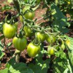 いろんなトマト成長中!