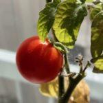 LEDトマト最終章