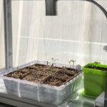 夏野菜発芽!そしてラスト大根